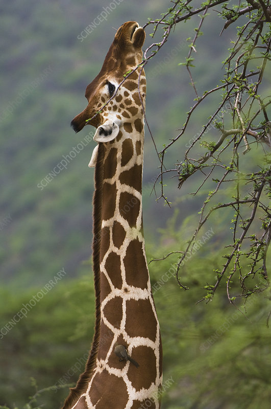 external image C0092805-Reticulated_Giraffe_Eating_from_Acacia_Tr-SPL.jpg