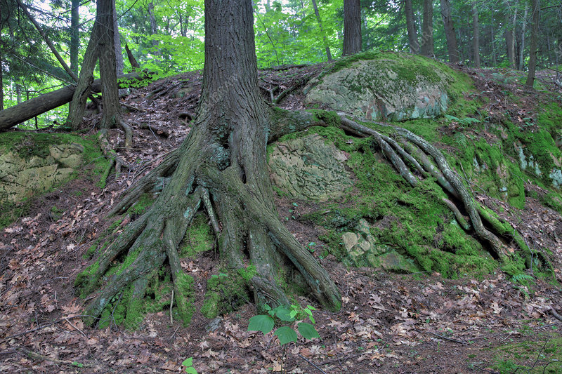 Tree growing over a rock