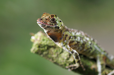 Pug-nosed anole