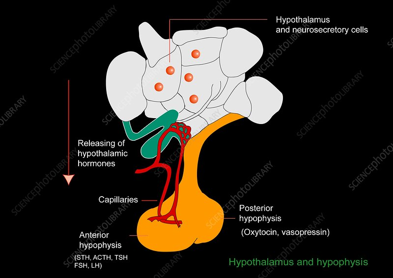 Hypothalamus and hypophysis, diagram