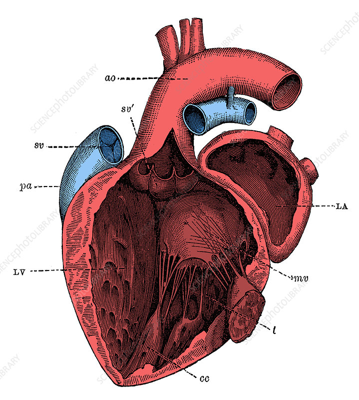 Left Side of the Heart