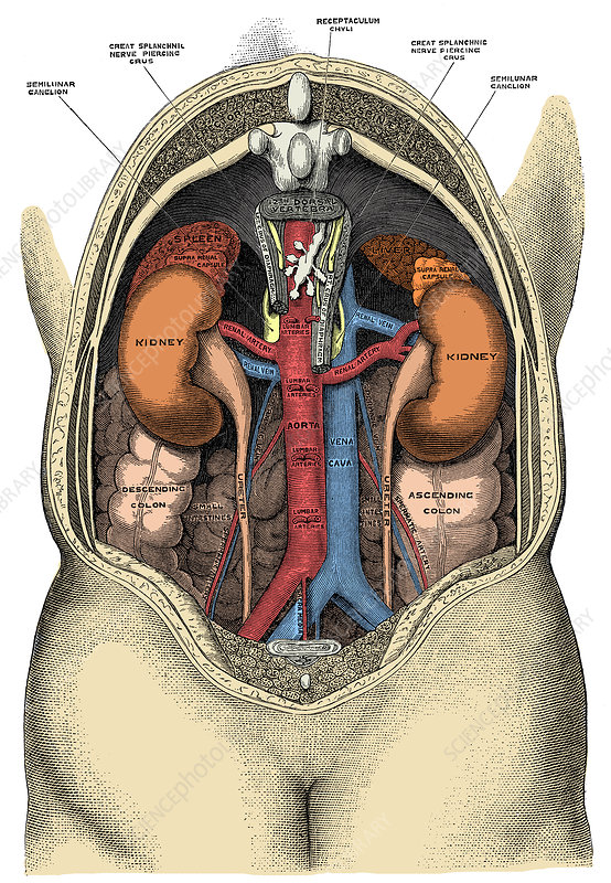 Dissection of the Abdomen