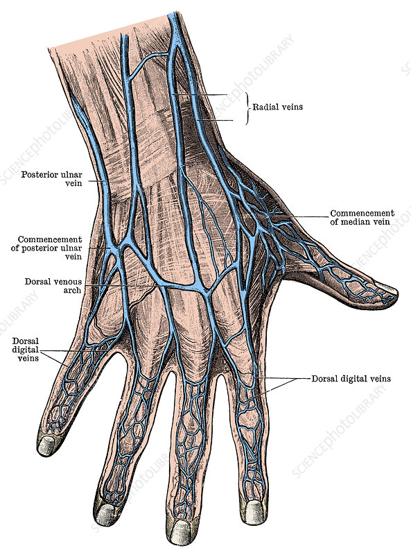 Dorsum of the Hand and Fingers