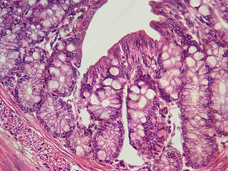 Guinea Pig Small Intestine (LM)