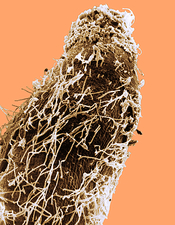 Bacteria on Sorghum Root Tip