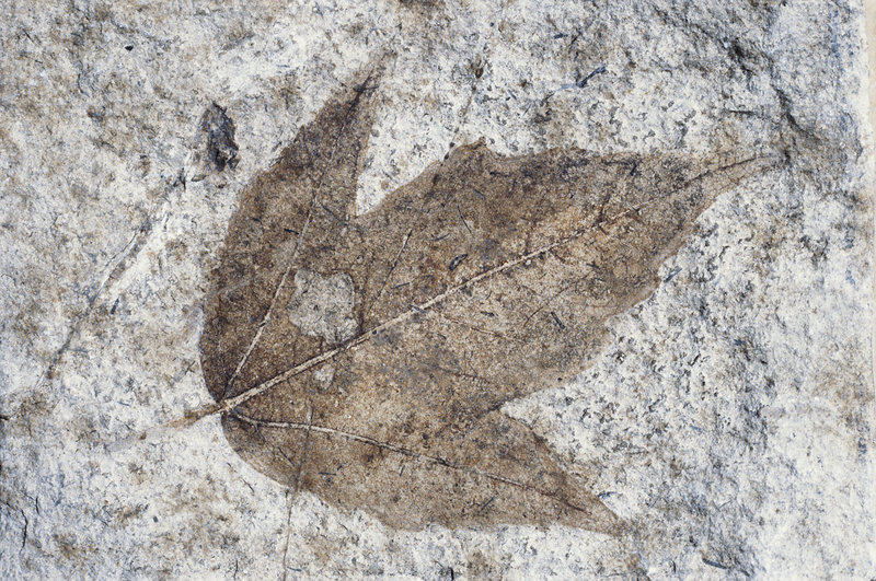 Fossil Maple Leaf