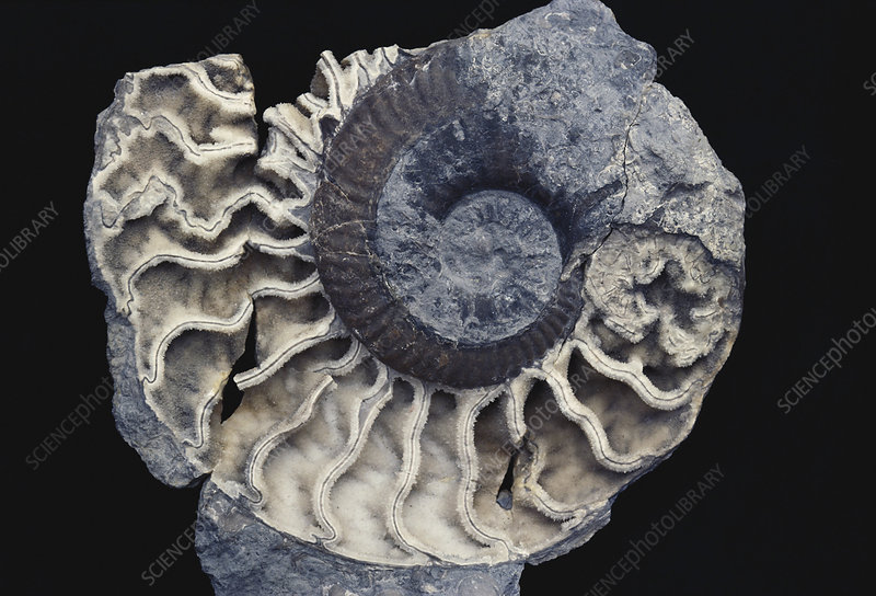Ammonite Preserved in Quartz