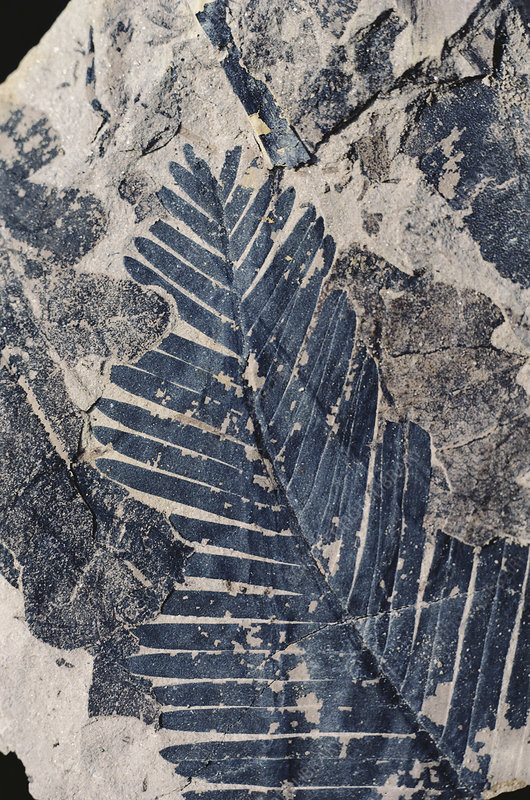 Fossil Leaf (Williamsonia sp.)