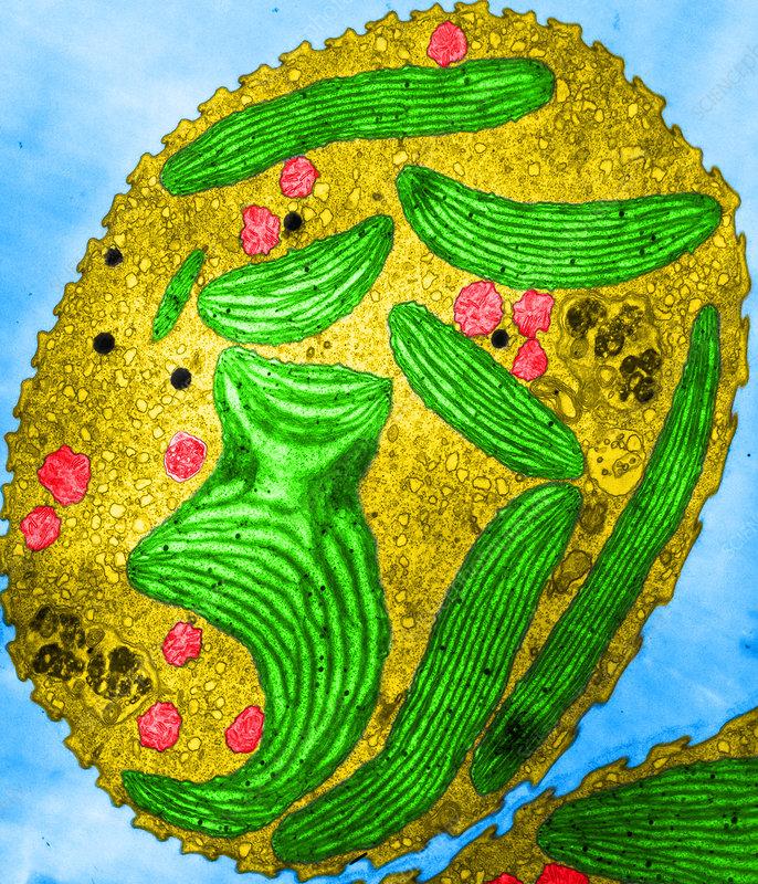 Euglena Chloroplasts  Tem  - Stock Image  3922