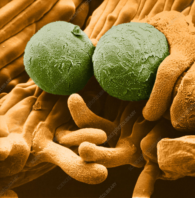 Crocus Pollen Grains on Stigma (SEM)
