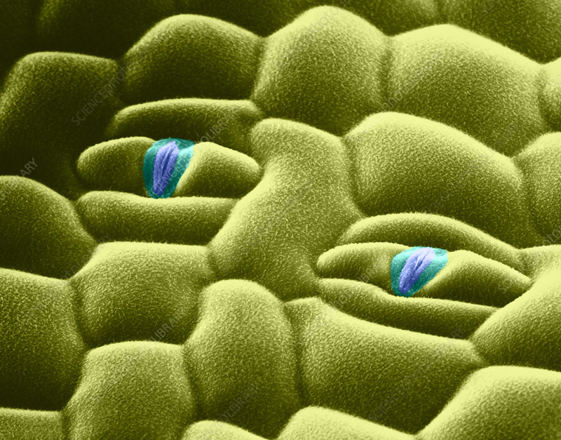 Virginia Spiderwort Stomata (SEM)
