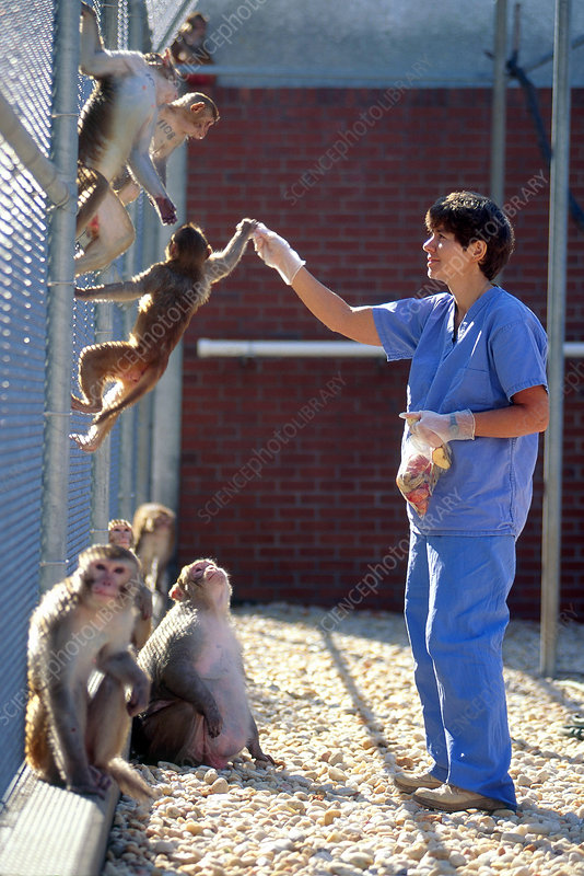 Scientist Feeding Captive Monkeys