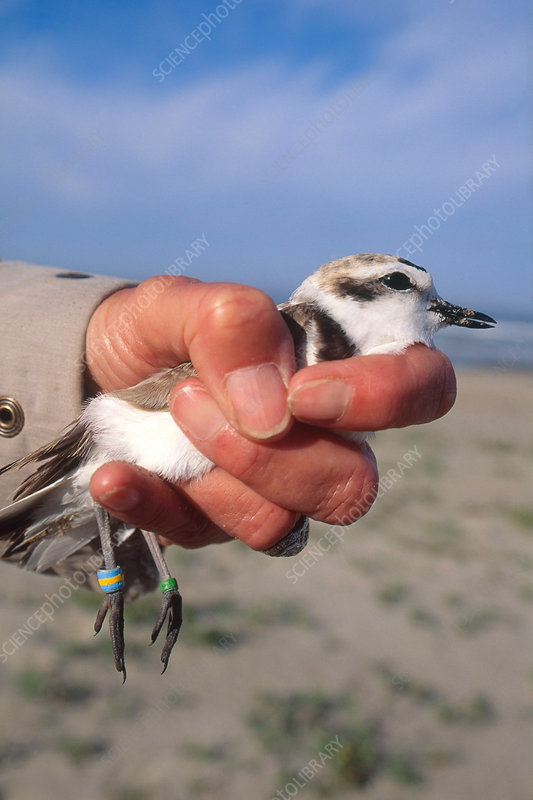 Banding Kentish Plover