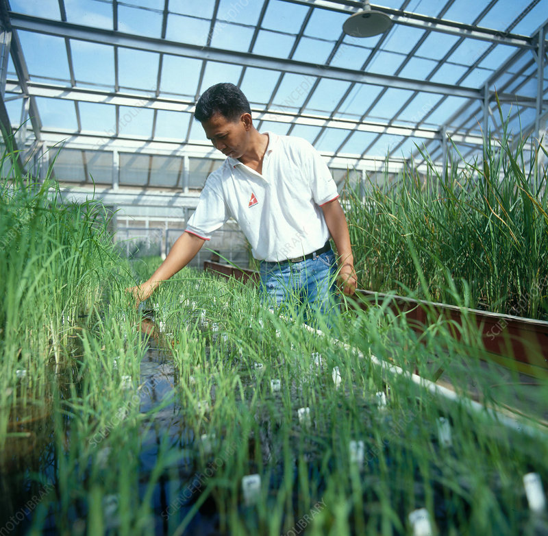 Assessing Rice Disease Resistance
