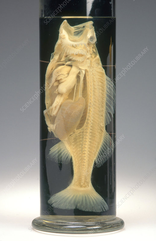 Preserved Fish