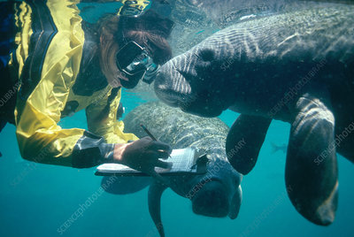 Marine Biologist with Manatees