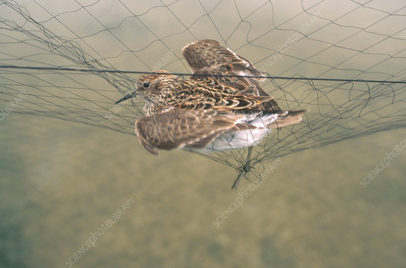 Western Sandpiper Caught in Net
