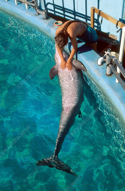 Researcher Giving Dolphin a Chest Rub