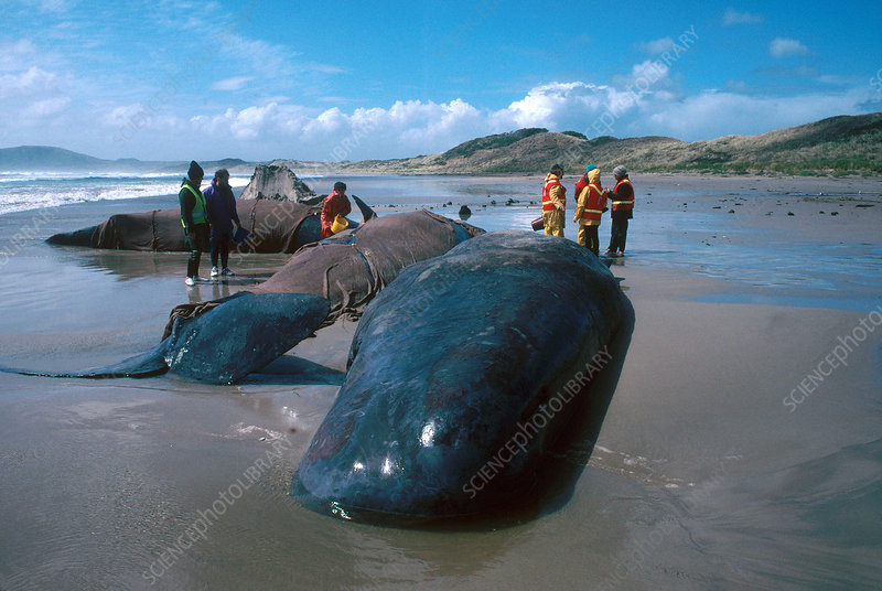 Beached Sperm Whales
