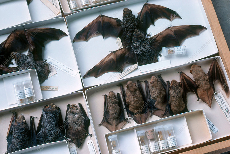 Hairy-tailed Bat Specimens