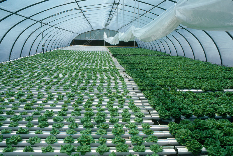 Lettuce in Hydroponic Glasshouse