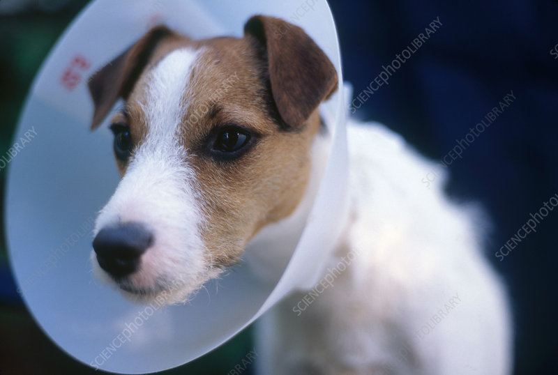 Dog with wound collar