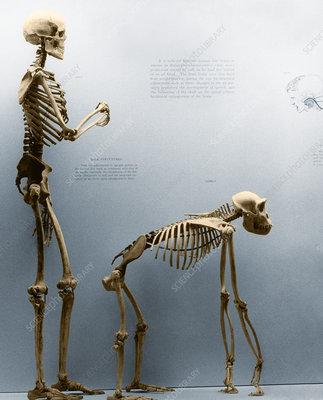 human skeleton vs gorilla skeleton – lickclick, Skeleton