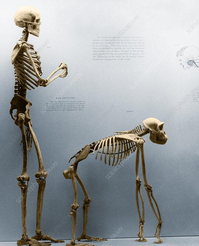 Gorilla skeleton vs. human skeleton
