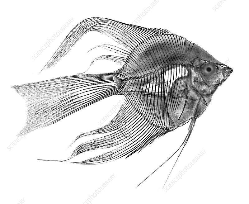 Angel Fish X-ray