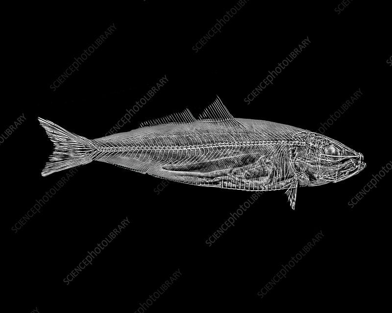 Brook Trout X-ray