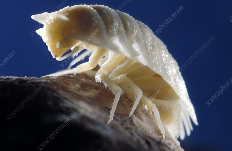 Cave woodlouse