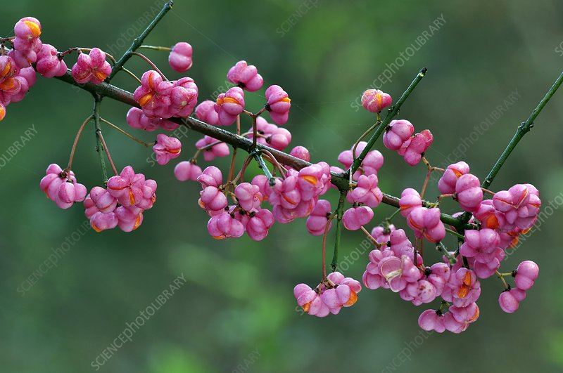 Spindle (Euonymus sp.) berries