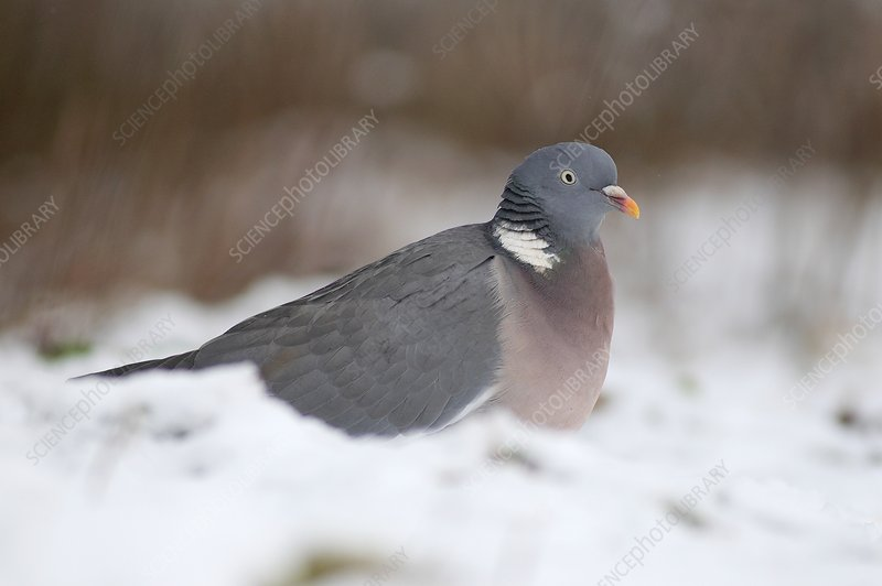 Wood pigeon in snow
