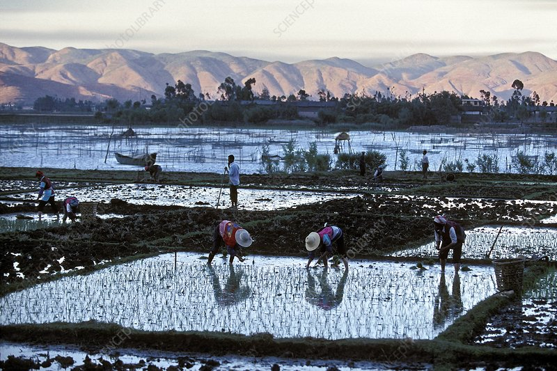 Bai rice cultivation, China