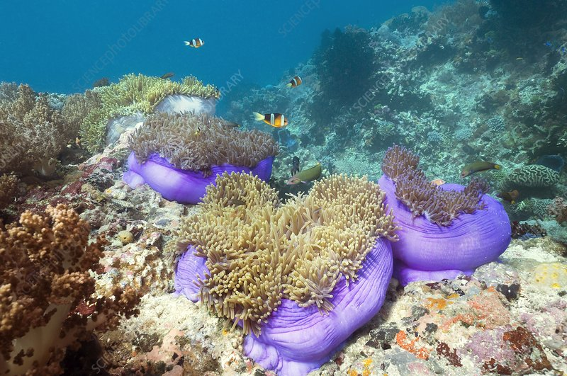 Anemones with anemonefish