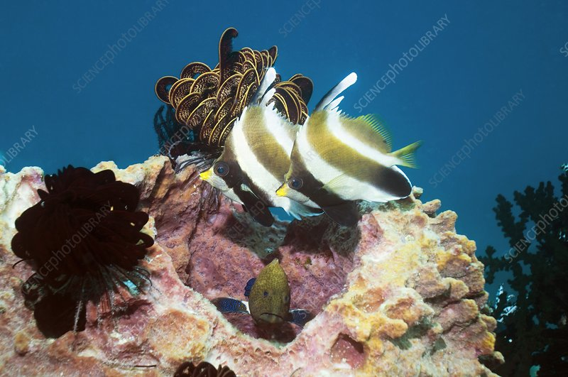 Pennant bannerfish and peacock grouper