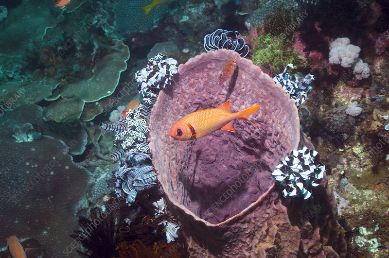 Blotcheye soldierfish on a reef