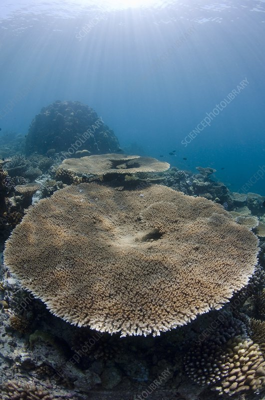 Table coral on a reef