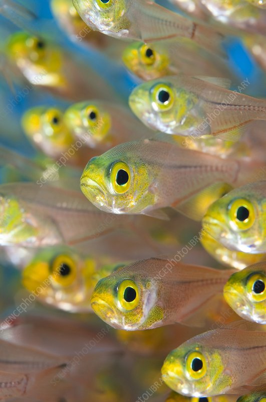 Pygmy sweeper fish