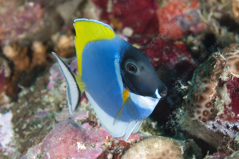 Powder-blue tang