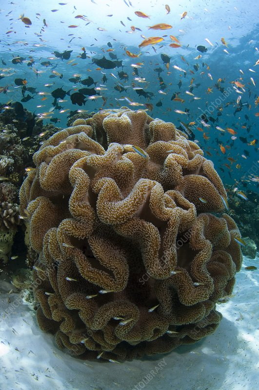 Leather coral on a reef