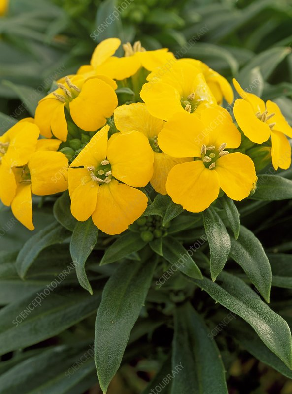 Erysimum 'Yellow Bird'