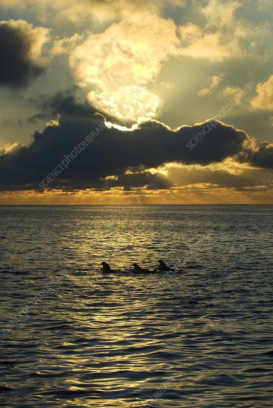 Short-finned pilot whales at dawn