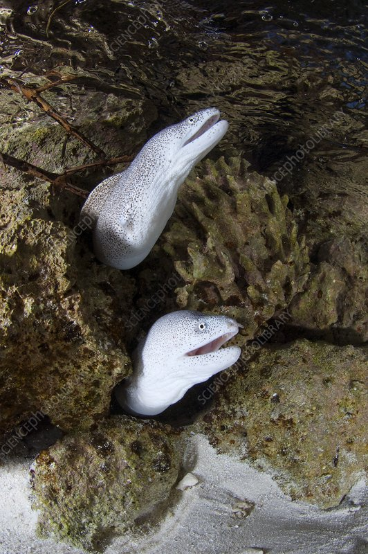 Laced morays