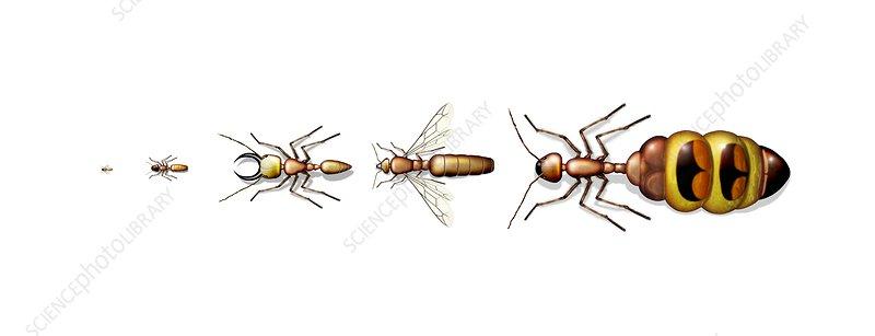 Queen Ant Size Comparison Ant types, artw...