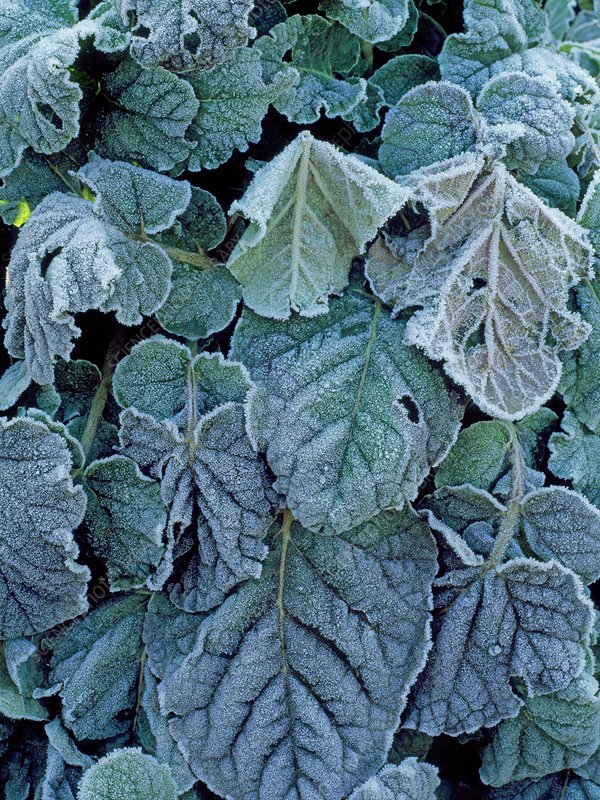 Frost on Francoa sonchifolia