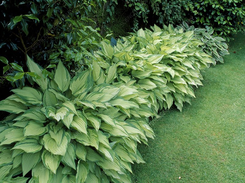 Hosta fortunei ' Albopicta'.