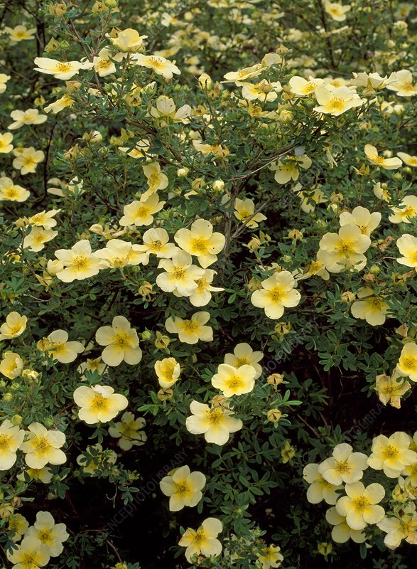 Potentilla 'Limelight'