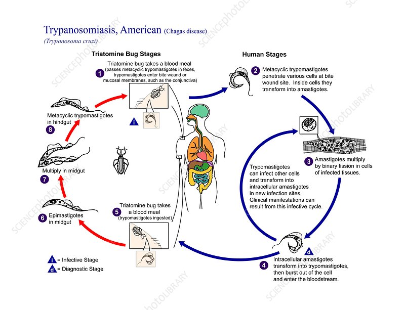Chagas disease parasite life cycle