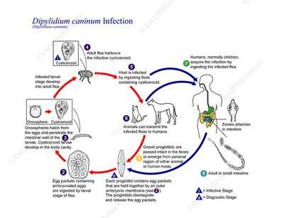 Cucumber tapeworm life cycle